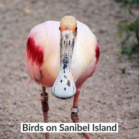 Birds on Sanibel Island