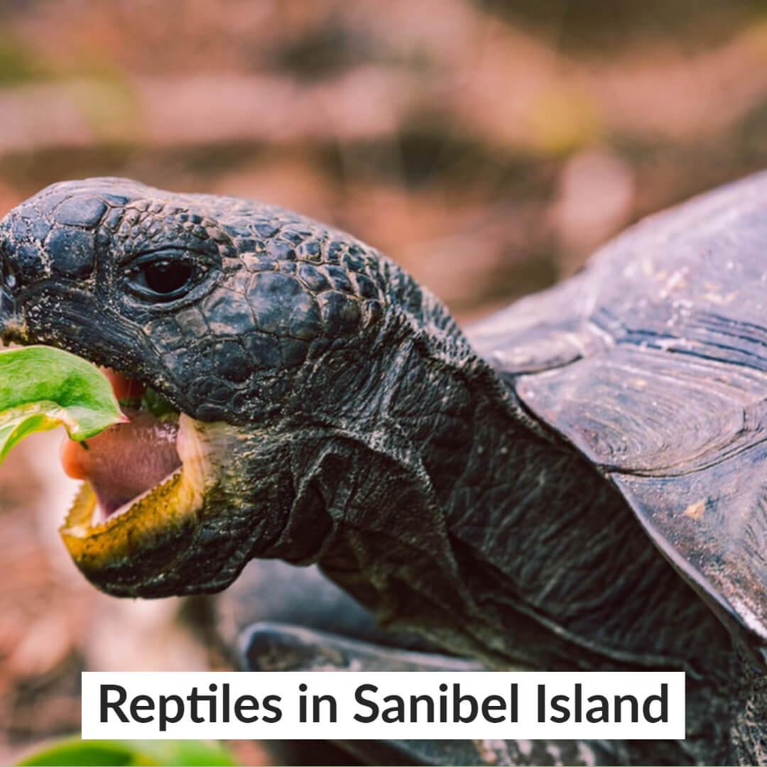 Reptiles in Sanibel Island