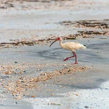 island-hopping-ibis
